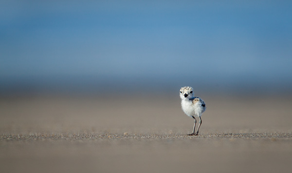 snowy-plover-china