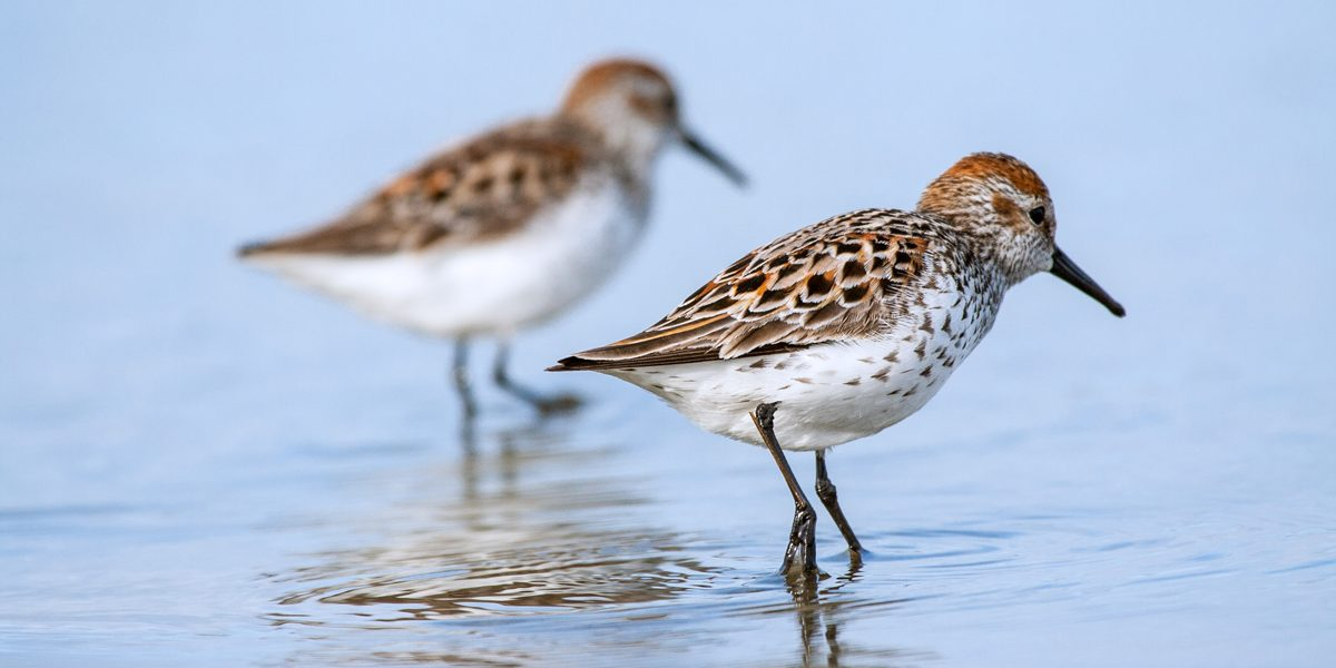 western sandpipers in water