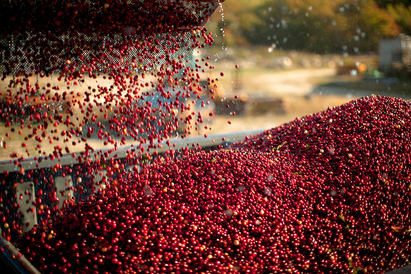 cran-harvest-cranberries-being-poured